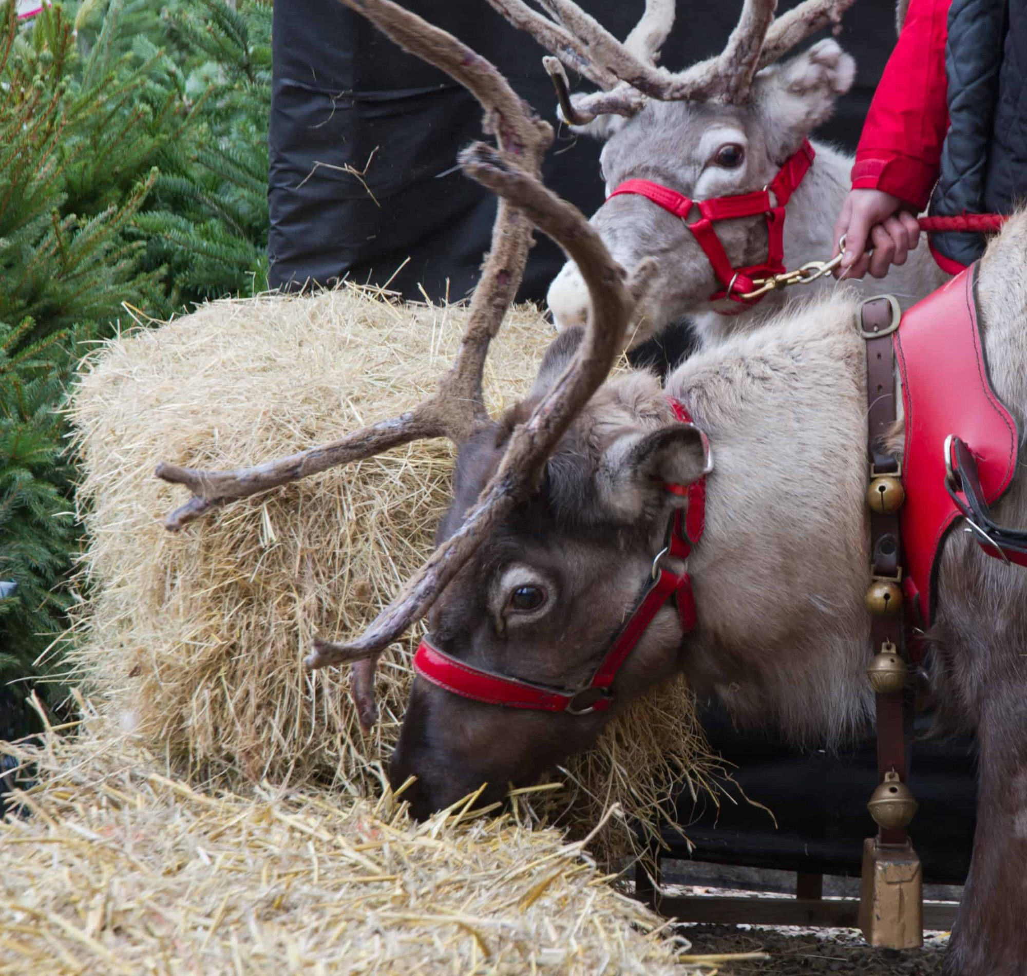 Two reindeer harnessed with bells and ready to pull Santa's sleigh.